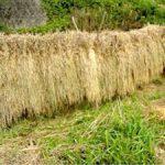 自然の中で!稲刈り体験